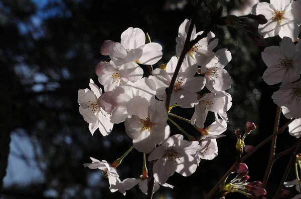 0006桜190331_1105.JPG